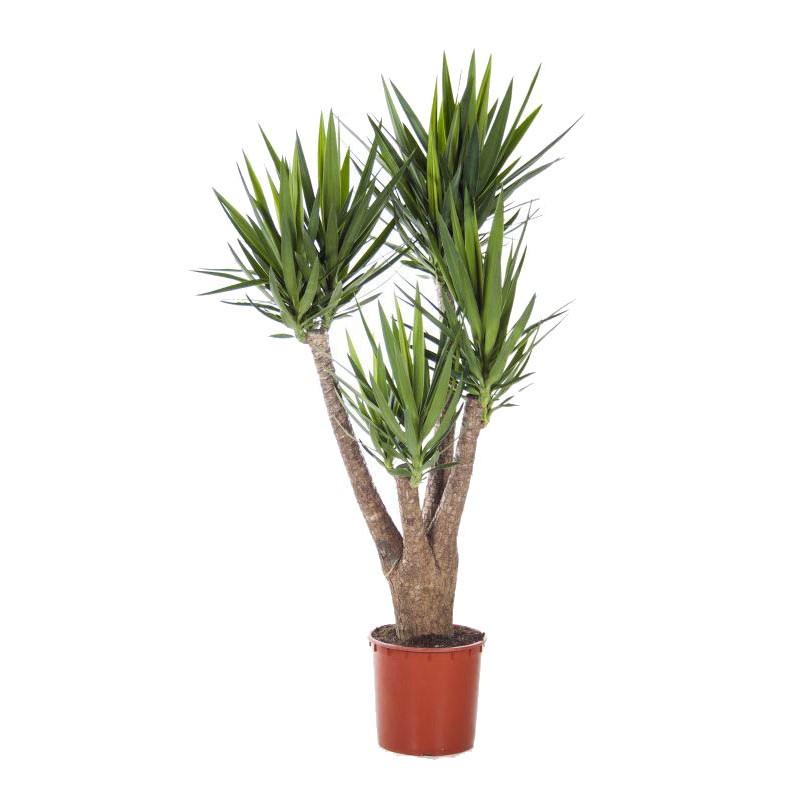 Yucca ramificata 4 5 capete 45 170 cm for Plante x ragnarok