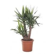 Yucca ramificata 3 capete 27/80 cm