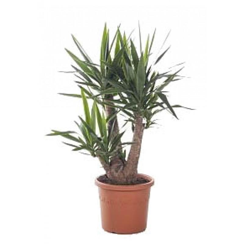 Yucca ramificata 3 capete 30 120 cm for Plante x ragnarok