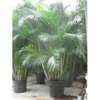 Areca 350 cm for Plante 70 cm