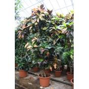 Croton excellent ramificat 375 cm