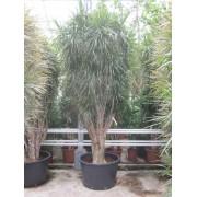 Dracaena marginata 400 cm