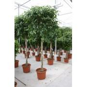 Ficus benjamina bol 60/300 cm