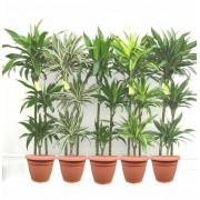 Pachet dracaena mix 3 tulpini 150 cm (8 dracaena in ghivece Hobby)