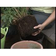 Transplantare planta 120 cm/ ghiveci 30 cm