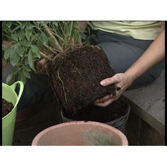 Transplantare planta 180 cm/ ghiveci 45 cm